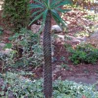 Пальма-кактус