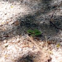 Лягушка на Ай-Петри