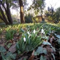 Подснежники в Никитском ботаническом саду