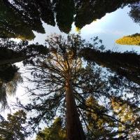 Деревья в 1000 лет возрастом