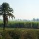 Сахарный тростник в Египте