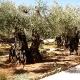 Масличные деревья
