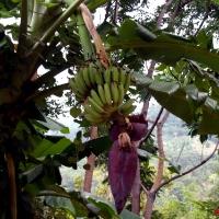 Бананы с цветами