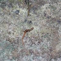 Ящерица притворяется змеёй