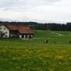 Коровы в Баварии