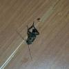 Тараканы размером со спичечный коробок