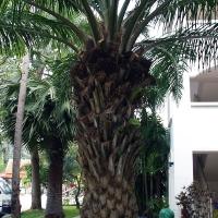 Дерево как ананас