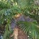 Ягоды пальм