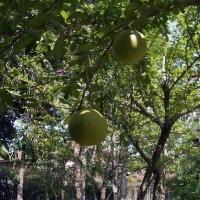 Неизвестный фрукт