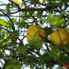 Гигантские лимоны