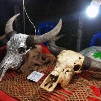 Череп буйвола