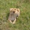 Львица в парке