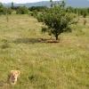 Львы в Тайгане
