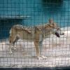 Зоопарковский волчара