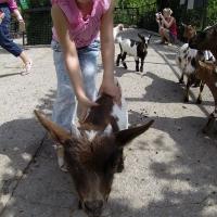 Потрогать козу